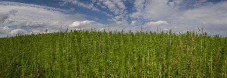 cannabisplantage  marijuana bladeren Stockfoto