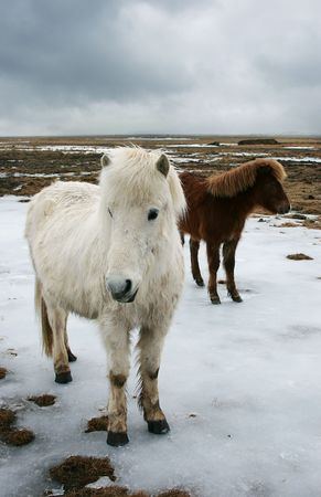 icelandic: Icelandic horse in winter Stock Photo