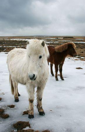 island�s: Island�s caballo en invierno