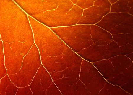 Autumn leaf texture (Macro shot) photo