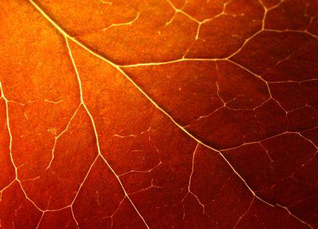 Autumn leaf texture (Macro shot) photo