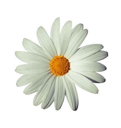 gerbera daisy: White flower isoalated on white with white background