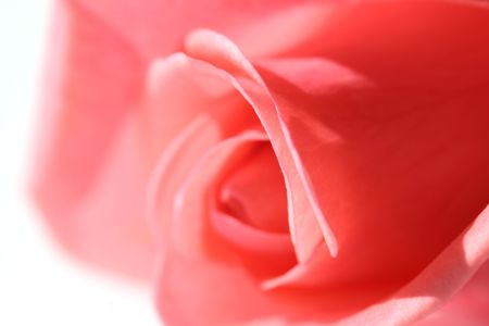 Close-up z Pink Rose