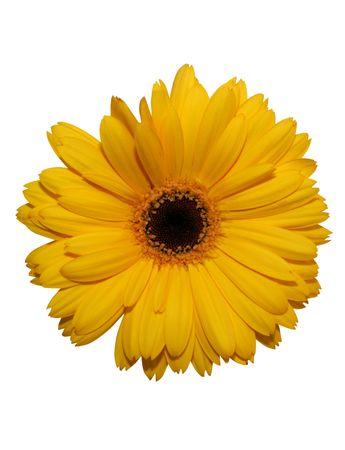 Żółty kwiat pojedyncze Gerbera na białym z wycinek ścieżki Zdjęcie Seryjne