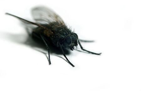 Szczegółowe mucha wyizolowanych na białym tle