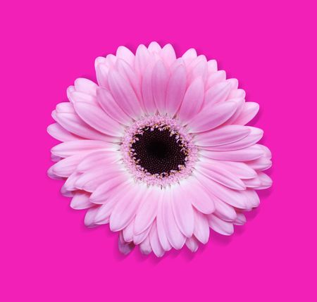 Beautiful Pink Gerbera flower isolated with  photo