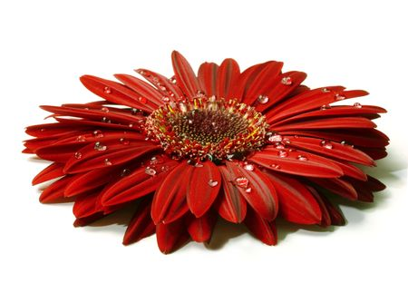 gerbera daisy: Glistering rain on a beautiful red gerbera flower