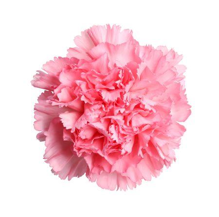在白色隔绝的美丽的桃红色康乃馨花