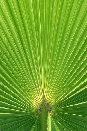 Palmtree texture lit from behind with natural sunlight - main focus on stem Stock Photo