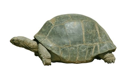 immortality: Giant turtle isolated on white with clipping path