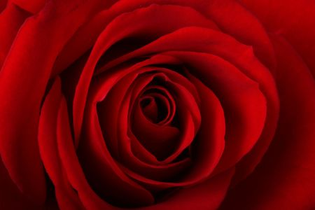 close-up of a red rose Stock Photo - 557075