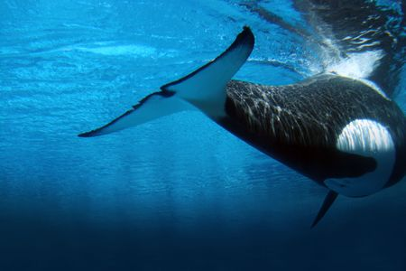 Underwater image of an killer whale Stock Photo