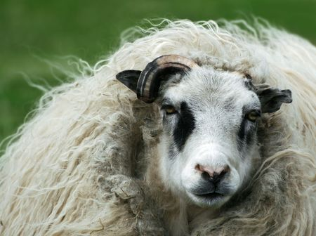 icelandic: Nasty looking punk sheep