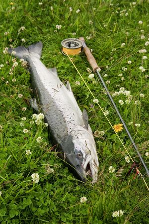 Large atlantic salmon on the river bank photo