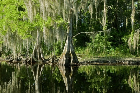 marsh plant: Bald Cypress Trees reflecting in the water in a florida swamp on a warm summer day