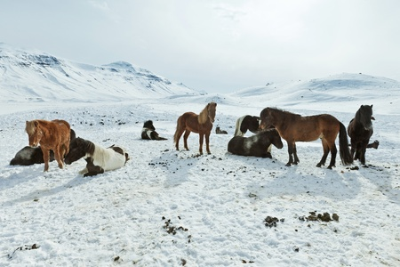 A herd of free-roaming Icelandic horses in the wintertime