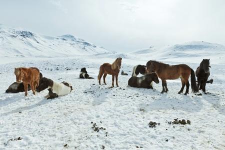 island�s: Una manada de caballos island�s m�vil libre durante el invierno Foto de archivo