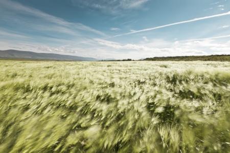 wheatfield: Landscape of a beautiful wheatfield blowing in the summer wind - motion blurred