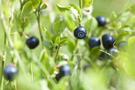 Ripe and ready wild blueberries on the bush - selective focus Stock Photo