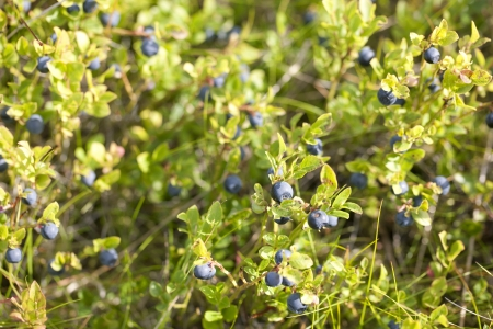 uncultivated: Ripe and ready wild blueberries on the bush - selective focus Stock Photo
