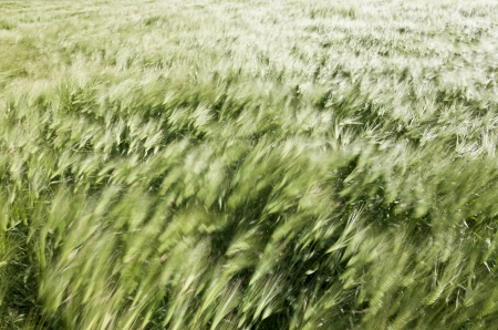 Beautiful background of motion blurred wheat field in the summer wind photo