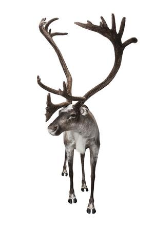reindeer: Hombre tiro de renos en el estudio aislado en blanco