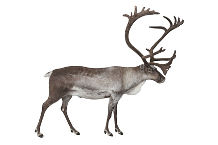 Male reindeer shot in studio isolated on white Stock Photo