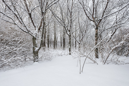 snow tree: Beautiful winter day in the forest after a fresh snowfall Stock Photo