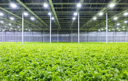 Lechuga orgánica que crece en un invernadero moderno Foto de archivo