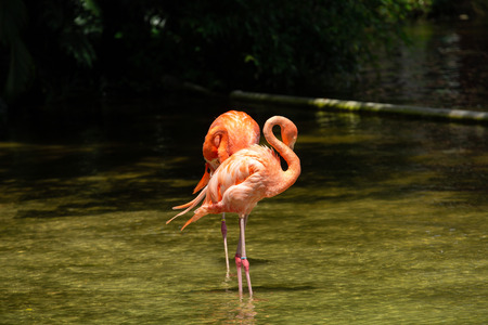 Beautiful Flamingos Standing in the Water pond of a Lion Country Safari, Florida. Pink Flamingos in the Park. Banco de Imagens