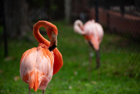 Portrait  of a Flamingo. Beautiful Flamingo on a Natural Background.
