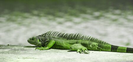 Central American Green Iguana. Water on a Background. Photo Toned in Green color.