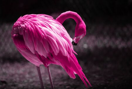 A Beautiful Flamingo Cleaning its Feathers. Close up Portrait of a Flamingo.  Pink Toning.  Pink color trend concept Zdjęcie Seryjne
