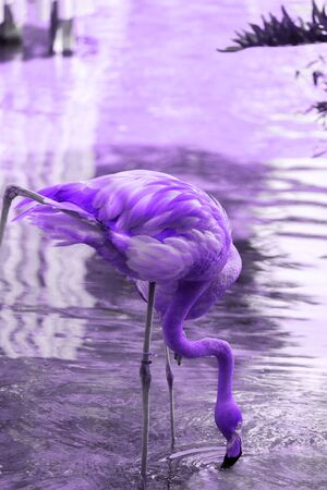 Portrait of a Flamingo drinking Water from Pond.  Flamingos in the Park. Toned in  purple color with neon. Unnatural   purple color trend concept. Banco de Imagens
