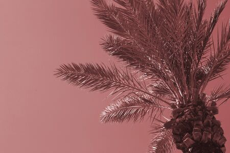 Palm Tree, Perfect Tropical Day. Beautiful Palm Tree against a Blue Sky. Toned with main trendy Living Coral color.