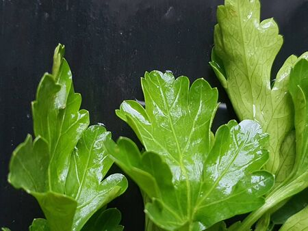 On a black wooden surface are parsley leaves. Close up top view. Healthy eating Copy space.