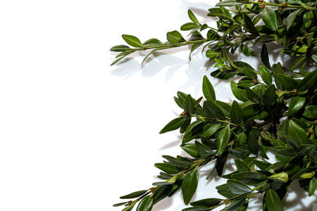 Branches of a plant with green leaves on a white background. Flowers are collected in nature. Isolate. Copy space.