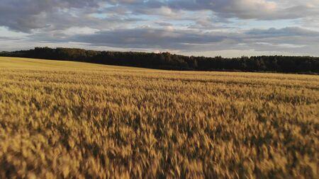 wonderful yellow wheat field against dense green forest Stock fotó