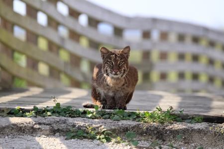 Bobcat in the Wild  Bobcat in Florida