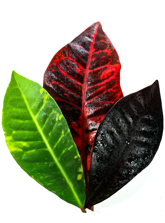The croton is a  tropical landscape or houseplant popular for its bright, colorful foliage. Фото со стока