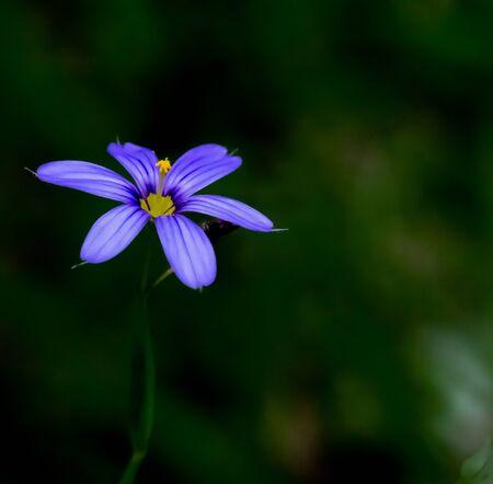 The Beautiful Purple flower of the Sisyrinchium Halophilum herb
