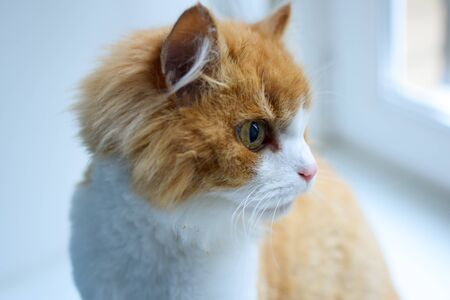 a white and red-haired Siberian cat with a fluffy face looks attentively out the window