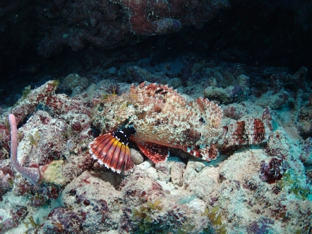 spotted: Spotted Scorpion Fish Stock Photo