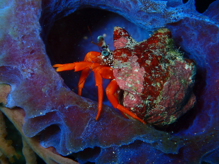 Hermit Crab In An Iridescent Azure Vase Sponge Key West Florida