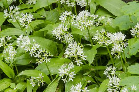 alliaceae: White flowering Allium ursinum in spring in the garden.
