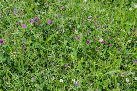 trifolium repens: Purple and white clover in grass. Stock Photo