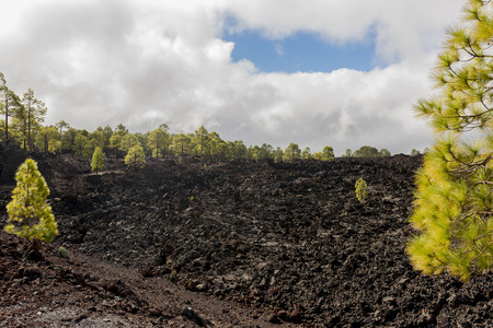 lava field: Forest on lava field in National Park Teide on the island of Tenerife, Spain.
