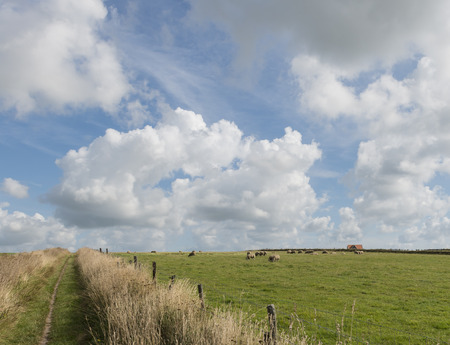 woll: Small hiking path between meadows, house and sheep on the isle of Texel.