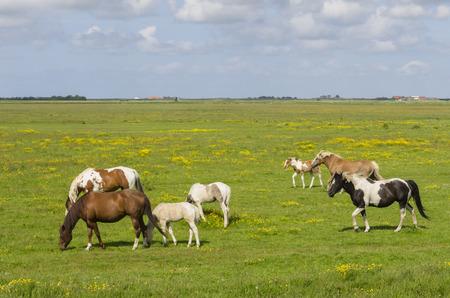 burg: Several horses in a meadow near Burg en Waal on the island of Texel.