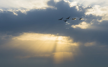 sunbeams: Geese in the sky at sunset with dark clouds and sunbeams. Stock Photo